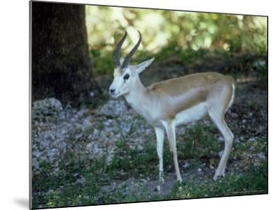 Goitered Gazelle, Male, Zoo Animal-Stan Osolinski-Mounted Photographic Print