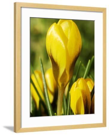 Crocus Chrysanthus, Goldilocks (Yellow) Close-up, February-Chris Burrows-Framed Photographic Print