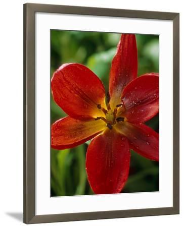 "Tulipa Hageri ""Splendens""-Chris Burrows-Framed Photographic Print"