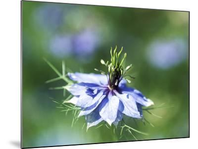 Nigella Damascena (Miss Jekyll), Close-up of Blue Flower-Ruth Brown-Mounted Photographic Print