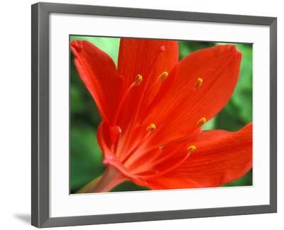 Cyrtanthus Elatus, Close-up of Red Flower Head-Chris Burrows-Framed Photographic Print