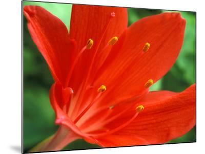 Cyrtanthus Elatus, Close-up of Red Flower Head-Chris Burrows-Mounted Photographic Print