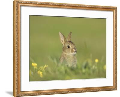 Rabbit, Youngster Emerging from Burrow in Field of Buttercups, Scotland-Mark Hamblin-Framed Photographic Print