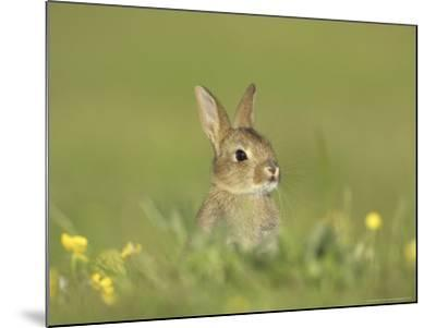 Rabbit, Youngster Emerging from Burrow in Field of Buttercups, Scotland-Mark Hamblin-Mounted Photographic Print