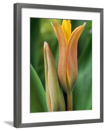 Tulipa Ferganica-Chris Burrows-Framed Photographic Print