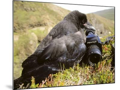 Common Raven, and Camera, Iceland-Philippe Henry-Mounted Photographic Print
