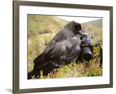 Common Raven, and Camera, Iceland-Philippe Henry-Framed Photographic Print