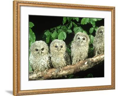 Tawny Owl, Strix Aluco Three Owlets Perched on Branch, W. Yorks-Mark Hamblin-Framed Photographic Print
