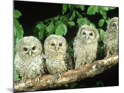 Tawny Owl, Strix Aluco Three Owlets Perched on Branch, W. Yorks-Mark Hamblin-Mounted Photographic Print