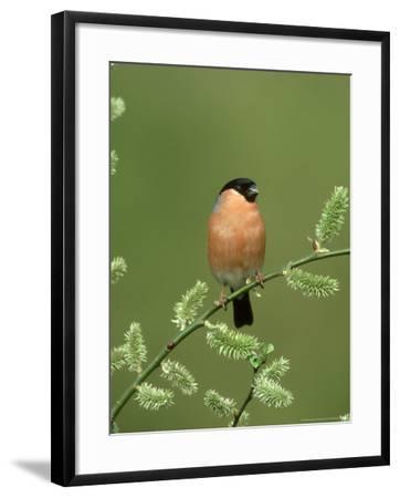Bullfinch, Pyrrhula Pyrrhula Male on Willow Yorkshire, UK-Mark Hamblin-Framed Photographic Print