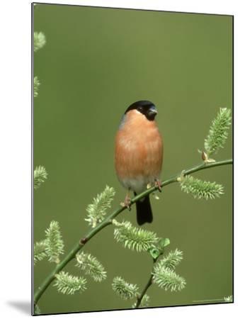 Bullfinch, Pyrrhula Pyrrhula Male on Willow Yorkshire, UK-Mark Hamblin-Mounted Photographic Print