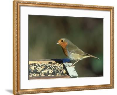Robin, Feeding on Table, UK-Mark Hamblin-Framed Photographic Print