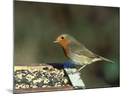 Robin, Feeding on Table, UK-Mark Hamblin-Mounted Photographic Print