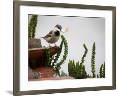 House Sparrow, with Nesting Material, Spain-Olaf Broders-Framed Photographic Print