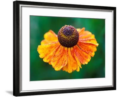 "Helenium ""Sahins Early Flowerer""-Lynn Keddie-Framed Photographic Print"