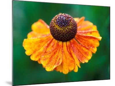 "Helenium ""Sahins Early Flowerer""-Lynn Keddie-Mounted Photographic Print"