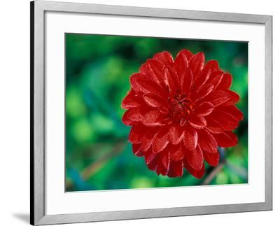 "Dahlia ""Murdoch"" Close-up of Red Flower Head-Lynn Keddie-Framed Photographic Print"