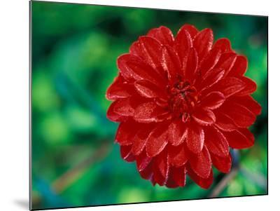 "Dahlia ""Murdoch"" Close-up of Red Flower Head-Lynn Keddie-Mounted Photographic Print"