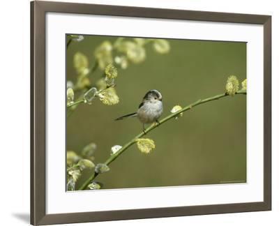 Long-Tailed Tit, Aegithalos Caudatus, Yorkshire, UK-Mark Hamblin-Framed Photographic Print