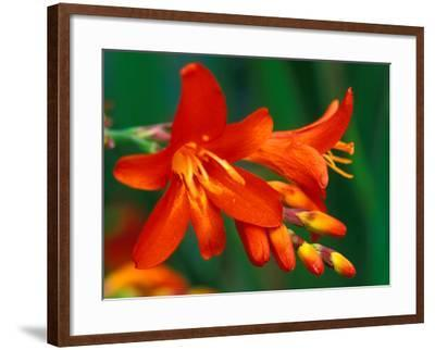 "Crocosmia ""Walberton Red,"" Close-up of Red Flower Heads-Lynn Keddie-Framed Photographic Print"