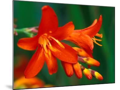 "Crocosmia ""Walberton Red,"" Close-up of Red Flower Heads-Lynn Keddie-Mounted Photographic Print"