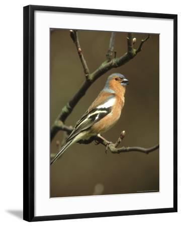 Chaffinch, Fringilla Coelebs Male Singing from Small Branch, S. Yorks-Mark Hamblin-Framed Photographic Print