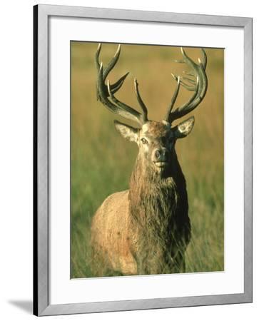 Red Deer, Cervus Elaphus Stag Portrait-Mark Hamblin-Framed Photographic Print