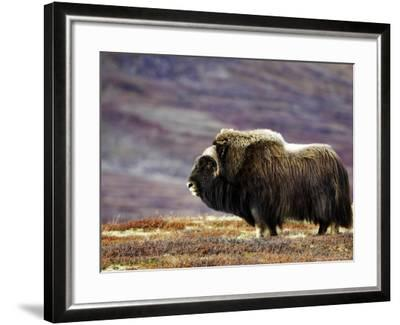 Musk Ox, Adult Female on Tundrain Autumn, Norway-Mark Hamblin-Framed Photographic Print