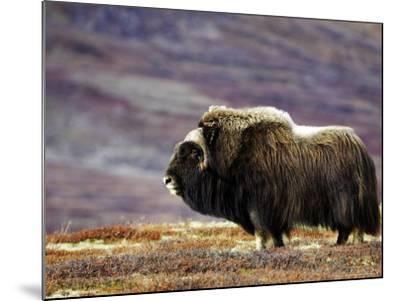 Musk Ox, Adult Female on Tundrain Autumn, Norway-Mark Hamblin-Mounted Photographic Print