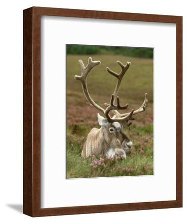 Reindeer, Portrait on Heather, Scotland-Mark Hamblin-Framed Photographic Print