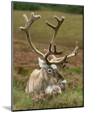Reindeer, Portrait on Heather, Scotland-Mark Hamblin-Mounted Photographic Print