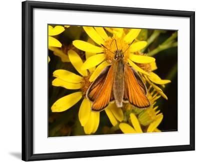 Essex Skipper Butterfly, Adult Feeding from Flower, UK-Keith Porter-Framed Photographic Print