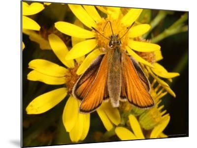 Essex Skipper Butterfly, Adult Feeding from Flower, UK-Keith Porter-Mounted Photographic Print