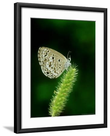 Lime Blue, Bandhavgarh National Park, India-Satyendra K^ Tiwari-Framed Photographic Print