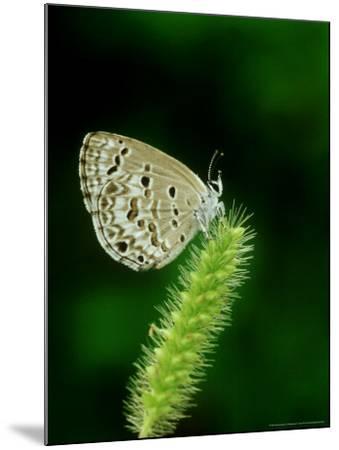 Lime Blue, Bandhavgarh National Park, India-Satyendra K^ Tiwari-Mounted Photographic Print