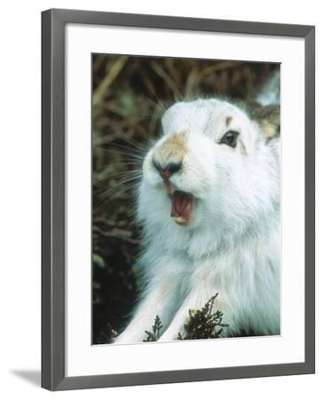 Mountain Hare or Blue Hare, Yawning and Stretching, Scotland, UK-Richard Packwood-Framed Photographic Print
