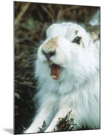 Mountain Hare or Blue Hare, Yawning and Stretching, Scotland, UK-Richard Packwood-Mounted Photographic Print