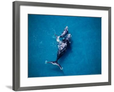 Southern Right Whale, Mother and Calf-Gerard Soury-Framed Photographic Print