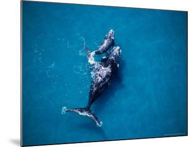 Southern Right Whale, Mother and Calf-Gerard Soury-Mounted Photographic Print