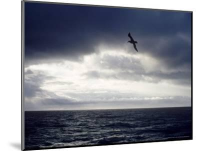 Southern Giant Petrel at Sea, Argentina-Mary Plage-Mounted Photographic Print