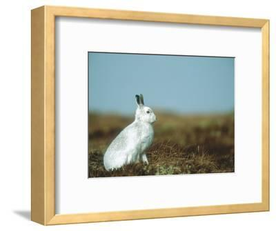Mountain Hare or Blue Hare, Conspicuous with No Snow, Scotland, UK-Richard Packwood-Framed Photographic Print