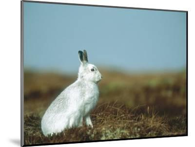 Mountain Hare or Blue Hare, Conspicuous with No Snow, Scotland, UK-Richard Packwood-Mounted Photographic Print