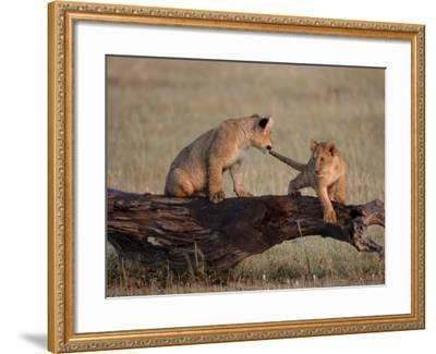 African Lion, Cubs Playing on Log, Kenya, Africa-Daniel J. Cox-Framed Photographic Print
