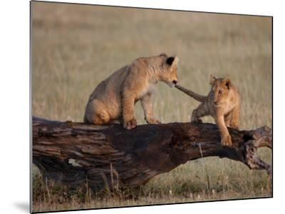 African Lion, Cubs Playing on Log, Kenya, Africa-Daniel J. Cox-Mounted Photographic Print