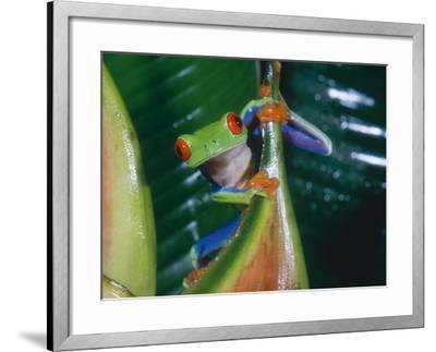 Gaudy Leaf Frog, Costa Rica-Mary Plage-Framed Photographic Print
