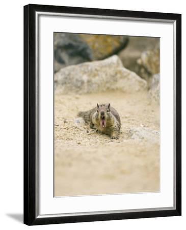 Beecheys Ground Squirrel, Yawning, California, USA-David Courtenay-Framed Photographic Print