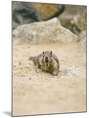 Beecheys Ground Squirrel, Yawning, California, USA-David Courtenay-Mounted Photographic Print