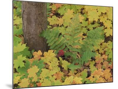 Autumn Colour. Variety of Maples (Acer Sp.), Michigan Upper Peninsula, USA-Mark Hamblin-Mounted Photographic Print