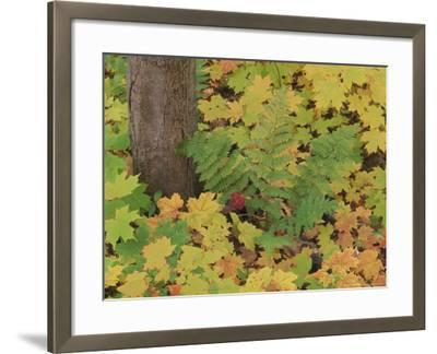 Autumn Colour. Variety of Maples (Acer Sp.), Michigan Upper Peninsula, USA-Mark Hamblin-Framed Photographic Print
