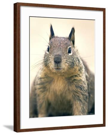 Beecheys Ground Squirrel, Close up Portrait, California, USA-David Courtenay-Framed Photographic Print